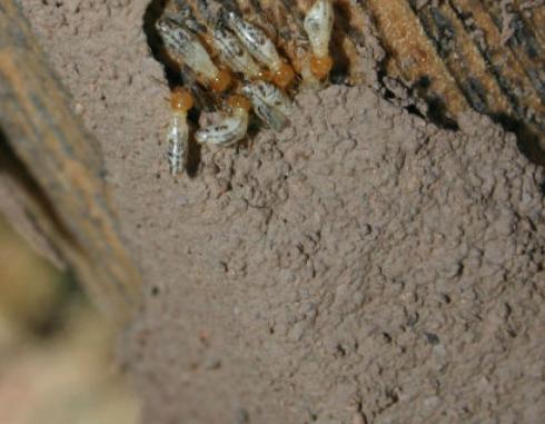 Voici comment se débarrasser des termites dans votre maison