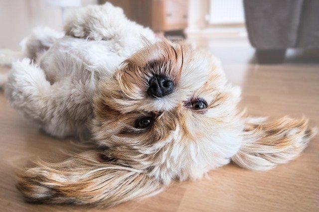 chiene n securité dans une maison