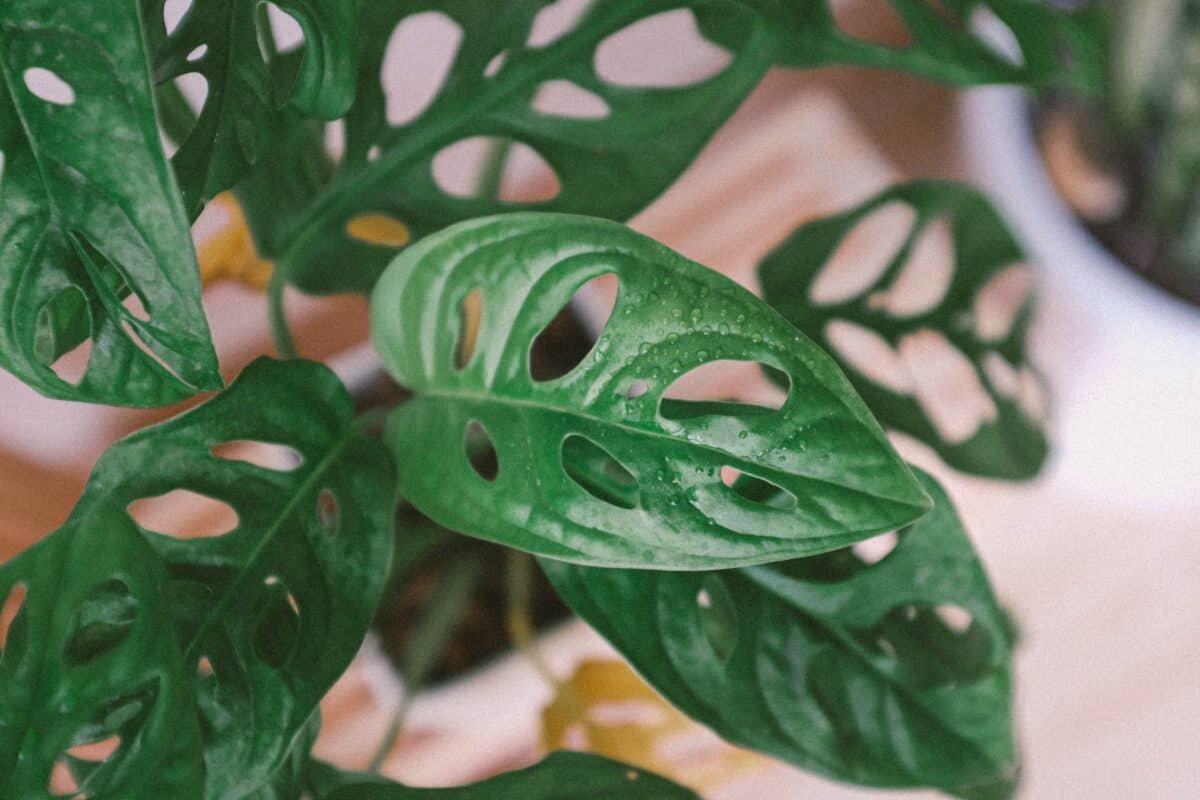 Monstera adansonii : la plante d'intérieur la plus tendance